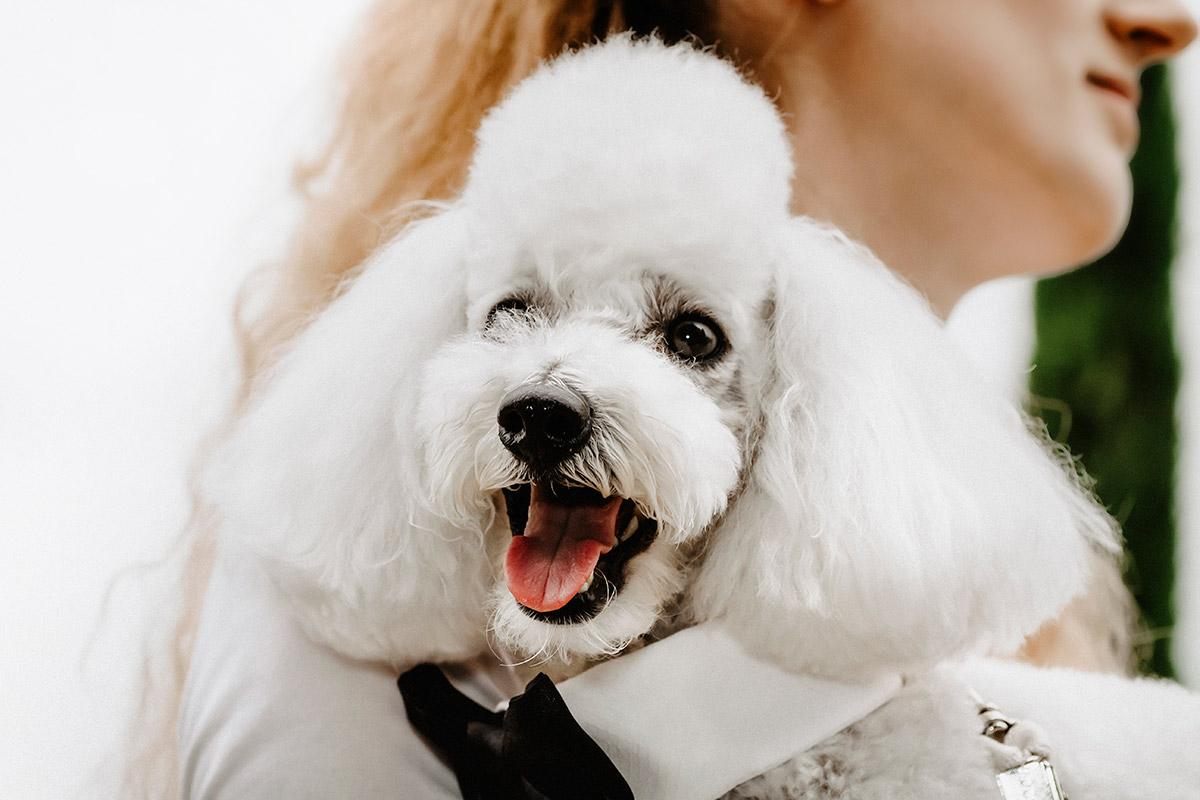 Matrimonio nel Castello di Grinzane Cavour, Langhe,Piemonte, cane barboncino degli sposi con la wedding dog sitter Martina Ossola